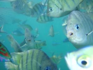 gambo mase akuk snorkeling di perairang pulo kapah